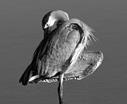 Great Blue Heron Black And White Posters - GBH Portrait  Poster by Phil Lanoue