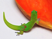 Gecko Posters - Gecko Eating Papaya Poster by Bette Phelan