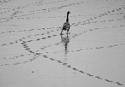 Footprint Photos - Geese by All copyrights reserved by Harris Hui
