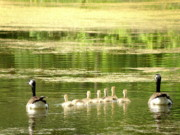 Geese Photos - Geese Family by Rhonda King