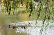 Geese In Central Park Print by Stacy Gold
