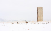 Silo Framed Prints - Geese in the snow with silo Framed Print by James Bo Insogna