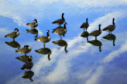 Geese Digital Art Prints - Geese Lake Reflections  Print by Randy Steele