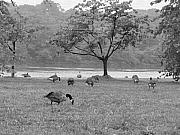 Fairmount Park Prints - Geese on a Rainy Day Print by Bill Cannon