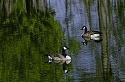 Nature Center Pond Prints - Geese on the pond Print by LeeAnn McLaneGoetz McLaneGoetzStudioLLCcom