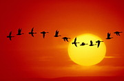 Flock Of Bird Art - Geese Silhouetted In Flight Across Sun by Mitchell Funk
