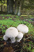 Forest Floor Prints - Gem-studded Puffball Print by Duncan Shaw