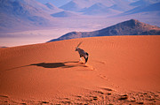Desert Prints - Gemsbok Print by Eric Hosking and Photo Researchers