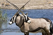 Gemsbok (oryx Gazella) Photos - Gemsboks by Bob Gibbons
