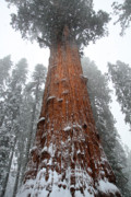 Sequoia National Park Prints - General Sherman is the biggest tree in the world Print by Pierre Leclerc