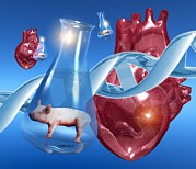Genetics Prints - Genetically-engineered Pig Hearts Print by Victor Habbick Visions