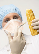 Corn Photos - Genetically Engineered Sweetcorn by Mark Sykes