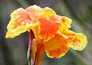 Canna Photo Metal Prints - Gentle Awakening Metal Print by Carol Groenen
