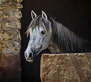 Gray Horse Photos - Gentle Beauty in Morocco by Marion McCristall