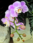 Orchids Digital Art Prints - Gentle Curves Print by Mindy Newman