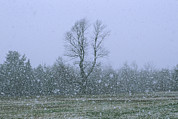 Maine Scenes Prints - Gentle Falling Snow In A Field Print by Bill Curtsinger