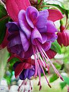 Fuschia Photo Prints - Gentle Fuschia Print by Jeff Breiman