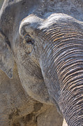 Elephant Photos - Gentle Giant by Angela Doelling AD DESIGN Photo and PhotoArt
