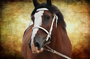Equine Photo Posters - Gentle Giant Poster by Jan Amiss Photography