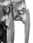 Elephants Drawings - Gentle Giants by Susan Barwell