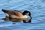 Canadian Goose Framed Prints - Gentle Touch Framed Print by Angie McKenzie