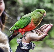 Parrot Metal Prints - Gentle With The Hand That Feeds You Metal Print by Douglas Barnard