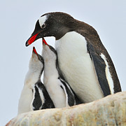 Rocky Beach Prints - Gentoo Feeding Time Print by Tony Beck