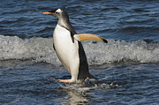 Mar2713 Art - Gentoo Penguin Coming Ashore South by Flip Nicklin