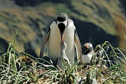 Caring Mother Posters - Gentoo Penguin Feeding Chick Poster by Charlotte Main