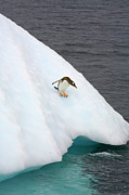 Antarctic Ocean Prints - Gentoo Penguin On Iceberg, Antarctic Peninsula Print by Eastcott Momatiuk