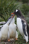 Submissive Photo Framed Prints - Gentoo Penguin Parent And Two Chicks Framed Print by Suzi Eszterhas