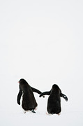 Two People Metal Prints - Gentoo Penguin (pygoscelis Papua) Metal Print by Elliott Neep