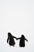 Gentoo Penguin (pygoscelis Papua) Print by Elliott Neep