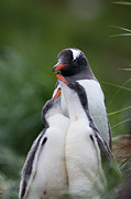 Submissive Metal Prints - Gentoo Penguin Pygoscelis Papua Hungry Metal Print by Suzi Eszterhas