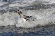 Mar2713 Art - Gentoo Penguin Riding Surf To Shore by Flip Nicklin