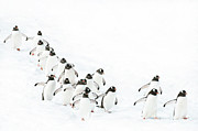 Flock Of Bird Art - Gentoo Penguin Walking On Snow by Daisy Gilardini