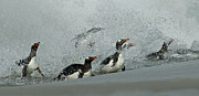 Penguins Photos - Gentoo Surf by Mark H Roberts