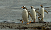 Penguins Photos - Gentoo Trio by Mark H Roberts