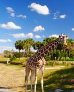 Zoo Photo Originals - Geoffrey takes a walk by Jonathan Brown