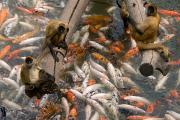 Nebraska. Posters - Geoffreys Spider Monkeys With Koi Poster by Joel Sartore