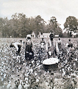 Picker Photo Framed Prints - Georgia Cotton Field - c 1898 Framed Print by International  Images