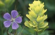 Kodiak Prints - Geranium And Yellow Paintbrush Print by Rich Reid