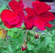 Padre Art Photos - Geranium Blossoms by Padre Art