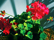 Red Geraniums Digital Art Posters - Geranium Poster by David Klaboe