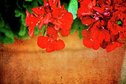 Red Geranium Framed Prints - Geranium summer Framed Print by Toni Hopper