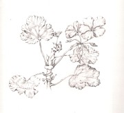 Botanical Drawings - Geranium Tonal by Alison Harvey