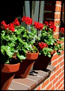 Geraniums Posters - Geraniums in Germany Poster by Carol Groenen