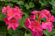 Linda Pope Metal Prints - Geraniums Metal Print by Linda Pope