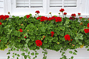 Red Geraniums Photo Prints - Geraniums on window Print by Elena Elisseeva