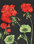 Sue Ervin - Geraniums
